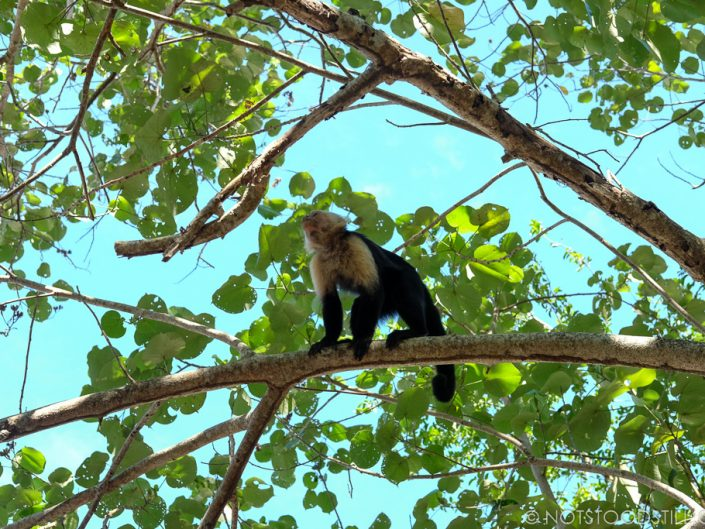 Capuchin monkeys are common here - Cahuita National Park.
