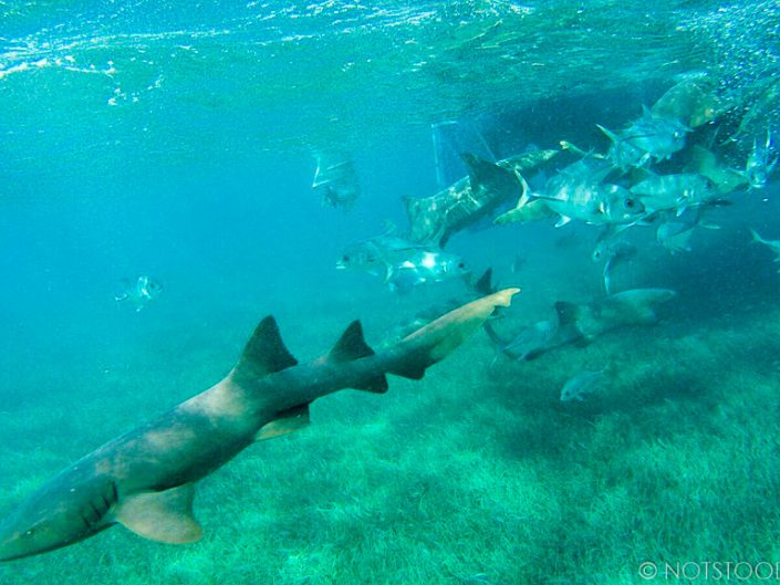 Swimming with nursing sharks, near Hol Chan Marine Reserve, Belize - Photo Courtesy of M. Maier 2016