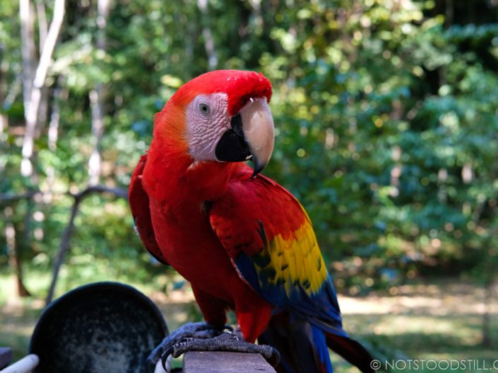 The Scarlet Macaw at Copán Ruinas, the national bird of Honduras.
