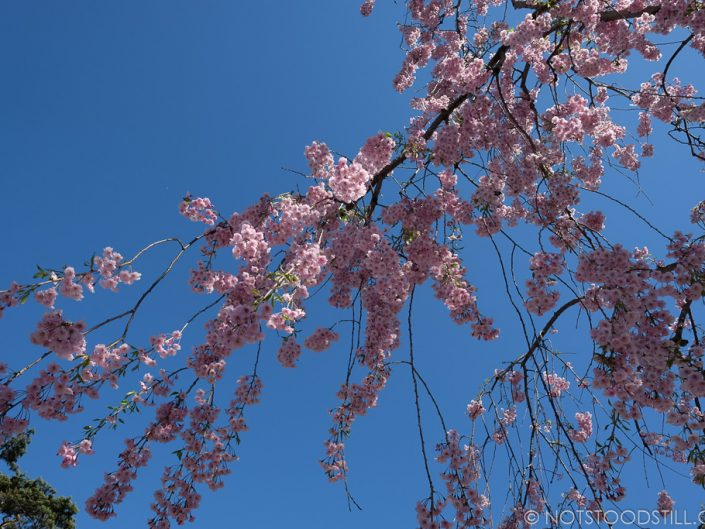 Catching the last of the cherry blossoms.